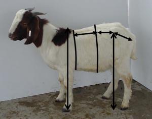franks goat pic