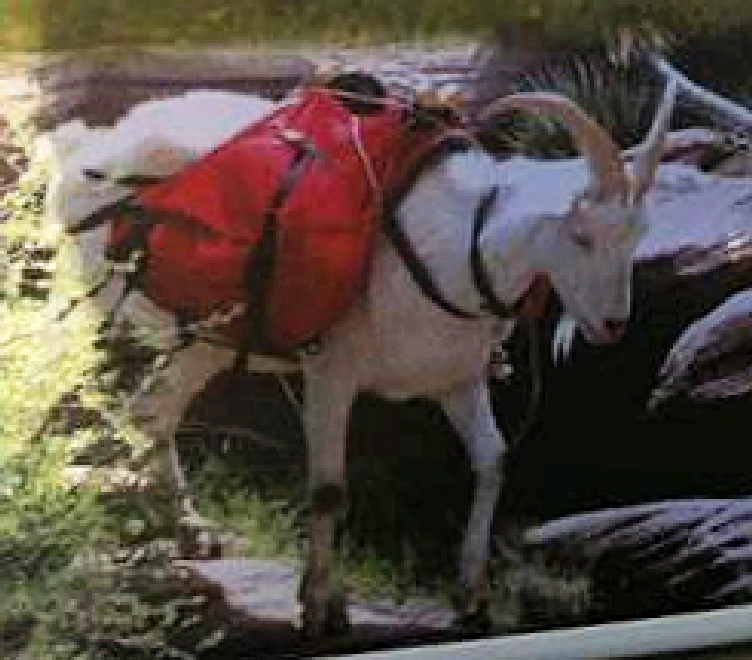 Pack Goats – The AMERICAN GOAT FEDERATION