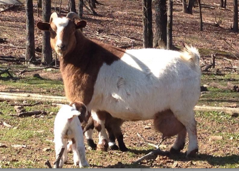 Meat Goats – The AMERICAN GOAT FEDERATION